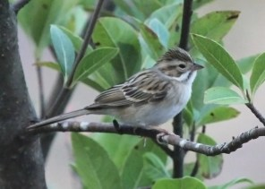 Though regular in fall along the coast, inland Clay-colored Sparrows are quite rare in Alabama. This individual 15 Oct 2018 at Auburn, Lee County, furnished only the eighth state record away from the coast in autumn. Photo © Jim Holmes.