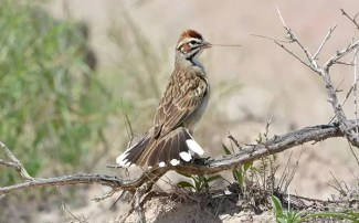 IFO: Winter Sparrows of the Southwest