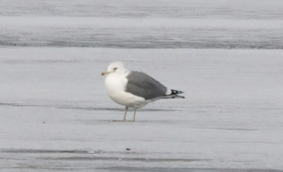 An exceptional find, this California Gull photographed on the ice in Sydney Harbour, Cape Breton Island, Nova Scotia 27 January 2019 provided the second record for the province. Photos © Steven McGrath.