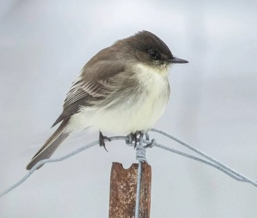 This Eastern Phoebe, seen at Saint-Bruno-de-Montarville, Québec 1 Dec 2018, survived very cold temperatures and permanent snow covering the ground as early as mid-November. Photo © Suzanne Labbé.