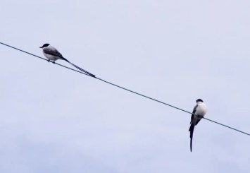 These two Fork-tailed Flycatchers must have made for an exciting day on a CBC when they were found in Sweet Lake, Calcasieu Parish, Louisiana, on 17 Dec 2019. Luckily, the birds stuck around to be seen by many birders. Photo © Irvin Louque.
