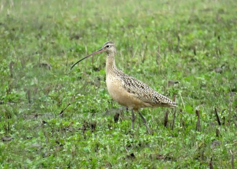 This Long-billed Curlew at Red Slough WMA 18–28 Feb 2019 (here 28 Feb) was a possible winter vagrant or an exceptionally early spring migrant. Photo © Ford Hendershot.