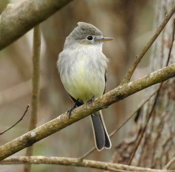 Louisiana's third record of Gray Flycatcher was—unlike many Empidonax—very obliging and a straightforward ID. Seen here on the day of discovery, the bird remained for many to enjoy from 26 Jan through 10 Feb 2019 in Diamond, Plaquemines Parish, Louisiana. Photo © Van Remsen.