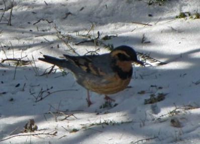 A rare vagrant to Nova Scotia, this Varied Thrush lingered at feeders in New Germany, Lunenburg Co 1 January through 2 February 2019. Here photographed 1 January 2019. Photo © Marlene Fairman.
