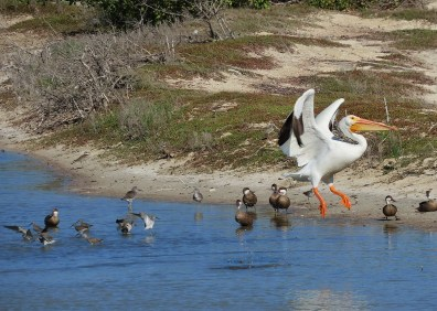 An American White Pelican, rare in the Lesser Antilles, was seen 27 Jan 2019 at Meads Bay Pond, Anguilla, providing the first record for the island. Photo © Jacqueline Cestero.