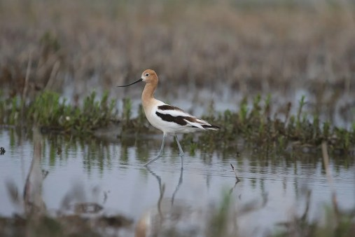 This elegant American Avocet was photographed at Contrecoeur on 30 May 2020. There are only about 20 records in the province for the last 20 years. Photo © Denis Tétreault.