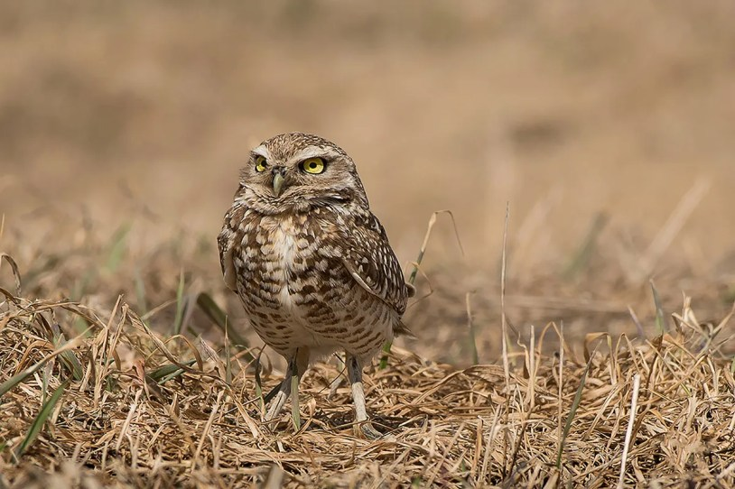A Burrowing Owl, found at La Motte 11 May, provided a fourth record for Québec. Photo © Johanne Gagné.