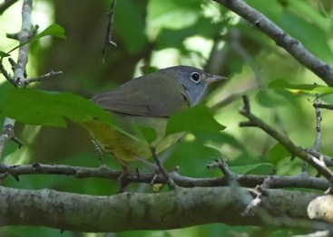 Despite extensive migration coverage, Connecticut Warbler is rarely found in Louisiana. It's even more rarely seen this well. This great find was at Creole, Cameron Parish, on 5 May 2019. Photo © Robert C. Dobbs.
