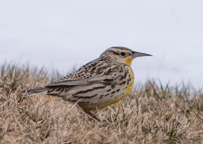 Absolutely unexpected, a Western Meadowlark in First Peninsula, Nova Scotia 8–11 Apr (here photographed 11 Apr) brought considerable joy to many. Photo © Jason Dain.