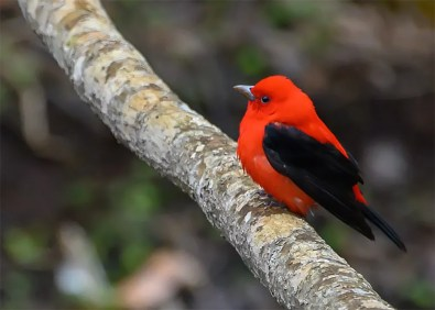 This Scarlet Tanager was present at Wood Islands, Queens, Prince Edward Island 11 May. Photo © Bryon Fichter.