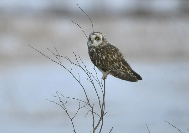 The Short-eared Owl made a remarkable appearance at latitude 48°-49° in the last week of April. Birds were particularly numerous in Abitibi, Lac Saint-Jean and Lower North Shore regions. This male was photographed at Val d'Or (Abitibi) 25 April 2020. Photo © Raymond Ladurantaye.