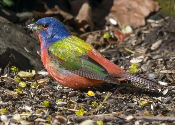 This Painted Bunting visited feeders in Hunt's Point, Queens, Nova Scotia 23–25 May, here photographed 25 May. Photo © Ronnie d'Entremont.