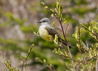 This Western Kingbird made a one-day stop at Pointe-aux-Outardes. 1 Jun. Photographed by David Trescak.