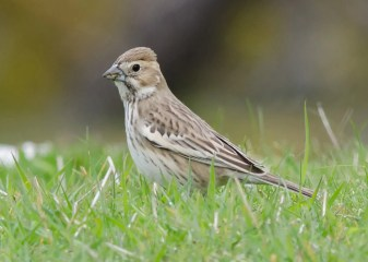 An unexpected surprise, this Lark Bunting was first found on Seal I., Yarmouth, NS 1 June. Photo © Alix d'Entremont