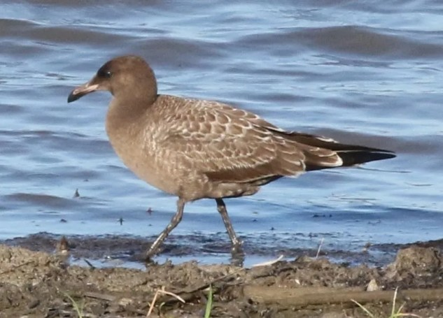 This juvenile Heermann's Gull was at Saylorville Reservoir, Polk, Iowa 28, 29 (here 29) July. Normally found along the West Coast, it was the region's and Iowa's first record of this species. Photos ©Stephen J. Dinsmore.