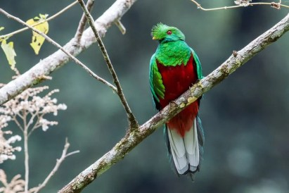 Crested Quetzal can be seen in the Borja area (Nick Athanas)