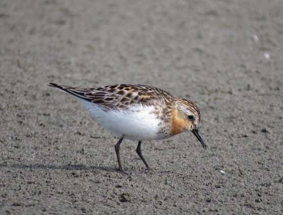 This well marked adult Red-necked Stint at the Arroyo Laguna Creek mouth near San Simeon, San Luis Obispo County, was present for only one day. Photo by © Thomas M. Edell.