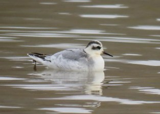 One of four in the region this fall, this Red Phalarope was found 2 Nov at the inland location of Brookville Lake in Union Co, Indiana. It remained for nine days, here 9 Nov, and was seen and photographed by many birders. Photo © Deborah Cooney.
