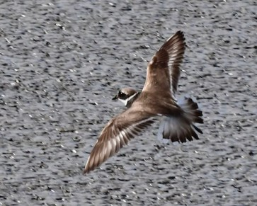 The Southern California Region's first (and California's third) Common Ringed Plover obliged numerous observers during its week-long stay at the San Joaquin Marsh in Irvine, Orange Co; shown here 31 Aug and 1 Sep 2019. Photos © Thomas A. Benson and [flight] Don Hoechlin.