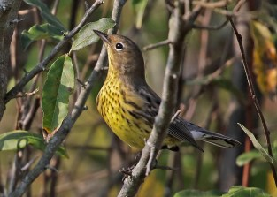 Always an exciting passage migrant, this Kirtland's Warbler supplied only the third ever fall record for Indiana. It was found at the Walmart Mitigation Area in Lafayette, Tippecanoe Co on 19 Sep and stayed through the following day (here 20 Sep). Photo © Scott Evans.
