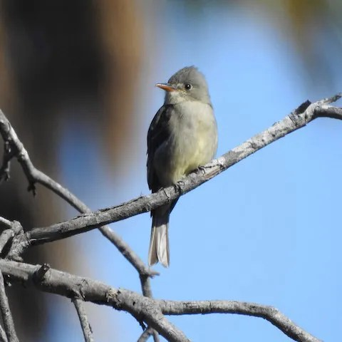 Presumably the same bird that wintered here in 2017–2018, this Greater Pewee was in Balboa Park, San Diego Co, California after 25 Nov (here on 26 Nov) 2018. Photo © Michelle Haglund.