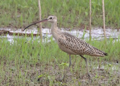 A towering Long-billed Curlew was wholly unexpected far inland in Noxubee Co 19 Aug 2019, and was later joined by two rare inland Marbled Godwits and a Willet! This was the first local occurrence of the species, and only the sixth away from the coast in Mississippi. Photo © Marion H. Schiefer.