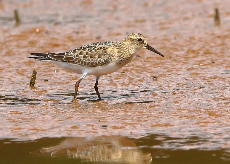 Rare but regular in fall in Alabama's Tennessee Valley, as many as three Baird's Sandpipers were noted 14 Aug–6 Sep 2019 (here 28 Aug) in eastern Colbert Co. Photo © Bala Chennupati.