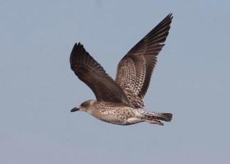 Unusual in Mississippi, this juvenile Lesser Black-backed Gull was at Ross Barnett Reservoir, Madison Co 3–10 Nov 2019 (here 3 Nov). Photo © Andrew Bell.