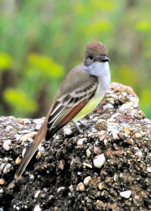 Expected most late autumns along the northern Gulf Coast, at least one Ash-throated Flycatcher was at Fort Morgan State Historical Park, Baldwin Co, Alabama 16–27 Oct 2019 (here 16 Oct). Photo © Bill Summerour.
