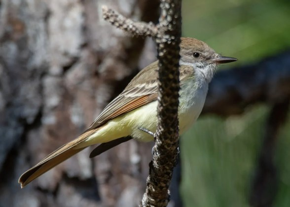 Only occasional inland in the region, an Ash-throated Flycatcher was discovered 3 Nov 2019 in DeSoto National Forest, Forrest Co, Mississippi. Photo © Lillie Gibb.