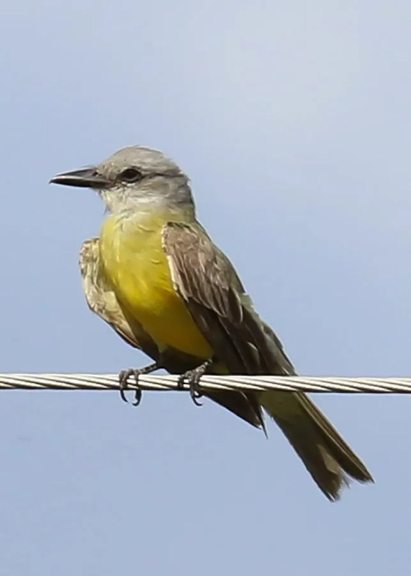 Always a surprise and rarely pinned down to species, this probable Couch's Kingbird vocalized at St. Catherine Creek National Wildlife Refuge, Adams Co 18 Aug 2019. Mississippi has only two accepted records of Couch's. Photo © Pullen Watkins.