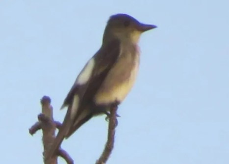 Early fall is the time of the Olive-sided Flycatcher, which passes through the region in small numbers, more expected to the west. This high-perching bird was at Pascagoula, Jackson Co, Mississippi 16 Aug 2019. Photo © Brian Johnston.