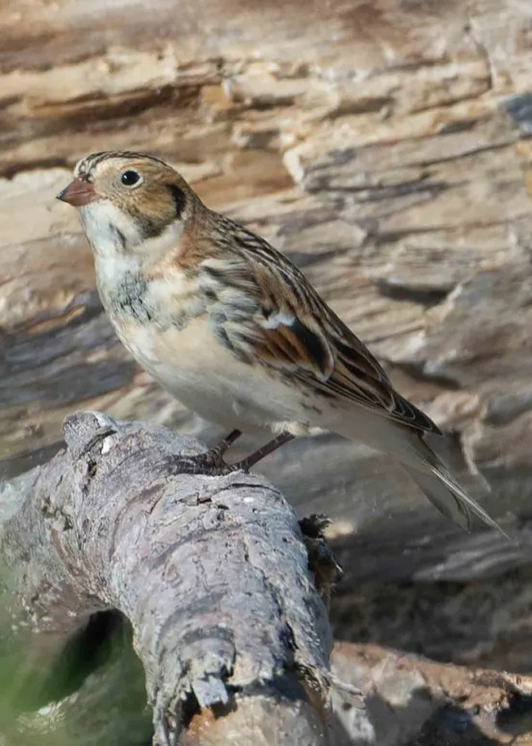 Lapland Longspur is rarely seen on the Alabama coast, so this cooperative individual was a prize unprecedentedly early beginning 27 Oct 2019 at Fort Morgan State Historical Park, Baldwin Co. Photo © Franklin Chalk.