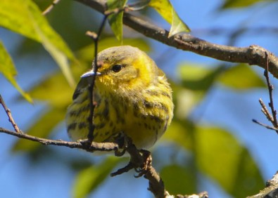 Though uncommon in spring, Cape May Warbler is rarely seen in autumn in the region. This bird was in far southeast Alabama in Houston Co 27 Oct 2019. Photo © Bob Kornegay.