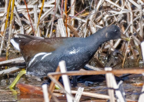 Oregon's 14th Common Gallinule was found south of Midland, Klamath Co 17 Feb, and continued into Apr. Photographed here on 22 Feb, it was a county first and the state's fourth for winter. Four of the state's first seven records came from Malheur National Wildlife Refuge during May, including a pair that only stayed for a couple days. Three of the next five records were coastal. Nearly 10 years have passed since the most recent record. Photo © Gerry Meenaghan.