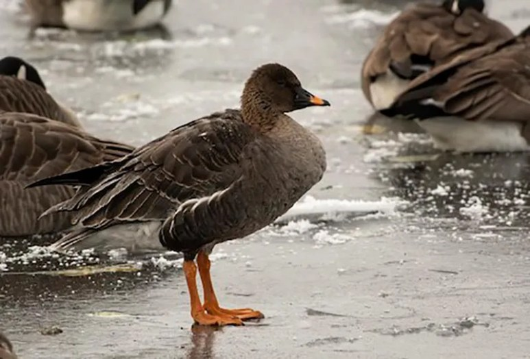 This Tundra Bean-Goose at Wascana Park, Regina, Saskatchewan, discovered on 7 Dec 2019 (here), remained into spring 2020. It provided the province with its first-ever record and the region with its second record. Photo © Annie McLeod.