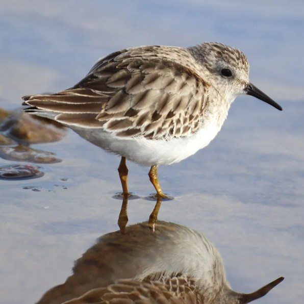 One of the many Least Sandpiper sightings this season was this photogenic individual at Valco Ponds near Lake Pueblo State Park, Pueblo Co. 26 Jan 2020. Photo by Kathy Mihm Dunning.