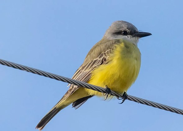 Arkansas's first Tropical Kingbird was discovered 13 Dec 2019 at Lake Saracen, Pine Bluff, Jefferson County. To the delight of many, it continued throughout the season. Photo © Delos McCauley.