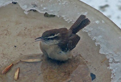 This Carolina Wren at Winnipeg, here seen on 17 Feb, provided Manitoba with about its 27th record overall and its eighth winter record. It had apparently been present for a few weeks. Photo © Frank Machovec.