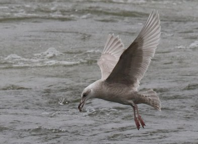 This immature Iceland Gull was found at Ottumwa in Wapello Co, Iowa on 28 Dec 2019. Photo © Stephen J. Dinsmore.