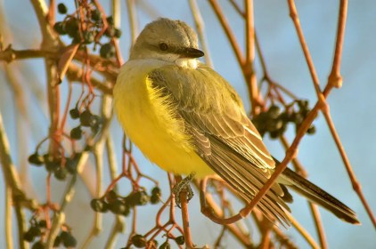 Completely unexpected in winter, this Western Kingbird at Petite-Rivière-Saint-François 8 Dec 2019 provided a record-late date for the region. Photo © Sylvain Tremblay.