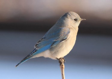 This female Mountain Bluebird was found at Deere Dike in Dubuque Co, Iowa on 1 Jan 2020. Photo © Mark Brown.