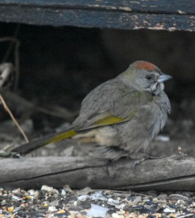 This Green-tailed Towhee at Ft McMurray, first noted on 13 Dec 2019 and seen here on 17 Dec, provided Alberta with its 10th record. Photo © Ben Evans.