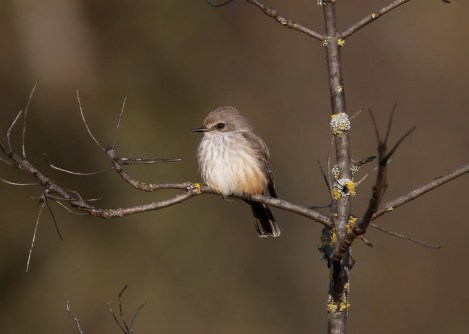 This Vermilion Flycatcher wintered at Alton Baker Park in Eugene, Lane Co 6 Jan–6 Mar. Oregon's first three records were of late fall individuals between the middle of Oct and early Dec. The state finally had one winter in Woodburn, Marion Co in early 2003. With an Apr 2011 record from Portland, this winter's bird brings the state total to six. Interestingly, all eight of Washington's records are from late fall or winter, but only two persisted past Jan. Photo © John Sullivan.