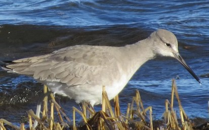 """This """"western"""" Willet (here 26 Dec) returned again this season to overwinter at Crescent Beach, NS. Photo © James Hirtle"""