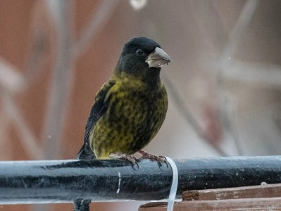 This Evening Grosbeak photographed 7 Dec 2019 at La Baie provided a striking example of melanism in a species not known for it. Photo © Annie Lavoie.