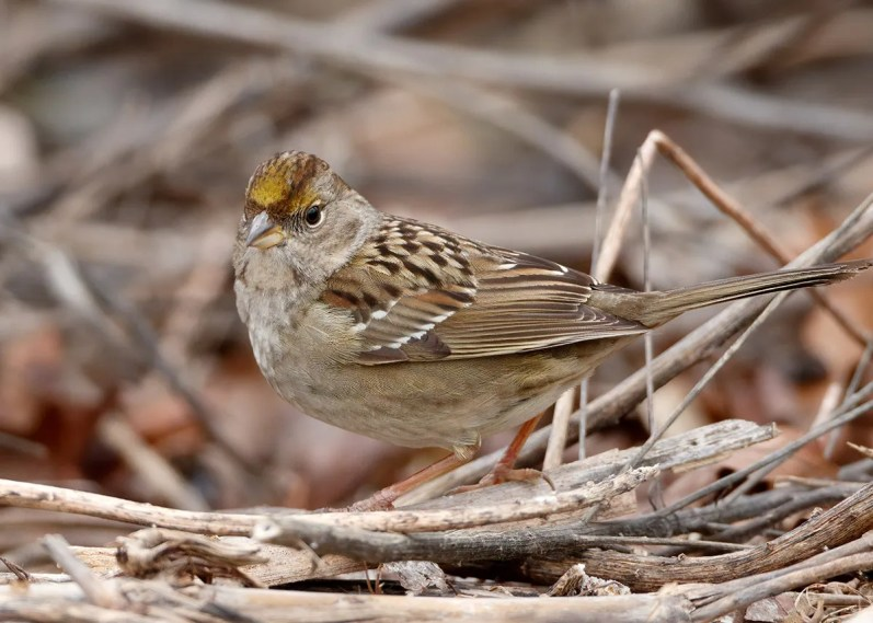 As a result of the increased birding activity in the area of the Spotted Towhee at Patoka Lake, this first-cycle Golden-crowned Sparrow, only the second ever for Indiana, was found on Christmas Day and remained through the end of the season. 21 Jan 2020. Photo © Michael Brown.