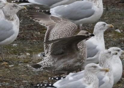 "This immature ""European"" Herring Gull (here 11 Dec) was in St. John's NL. Photo © Alvan Buckley."