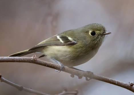 The unprecedented incursion of Hutton's Vireos into eastern Oregon that began during fall 2019 continued into the winter. In addition to several in Deschutes Co—where previously unrecorded—at least three were along the Columbia River, from the Deschutes River eastward. One continued at the Deschutes River Mouth, Sherman Co through 30 Jan (pictured here 20 Jan), one was at John Day Dam, Sherman Co 29 Dec, and one appeared at Boardman Marina, Morrow Co 30 Dec–3 Jan. The Sherman Co and Morrow Co records, along with eastern Oregon's first record from Gilliam Co in Jan 2019, were found in small, planted pines in manicured parks along the Columbia River. Photo © John Davis.