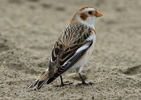 """It seems that Oregon has at least one """"northern"""" bird invade the state every winter. In 2016–17 it was Bohemian Waxwings all over the state. In 2017–18, White-winged Crossbills flooded the coast. This winter, it was Snow Buntings. Flocks of 10–50 Snow Buntings appeared up and down the coast all winter long, with singles as far south as Cape Blanco. This individual—photographed 12 Dec 2019—was one of at least 10 that spent part of the winter at the mouth of the Yaquina Bay, Lincoln Co, where less than annual. Photo © Bill Tice."""